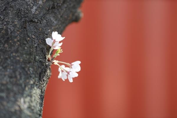 사회적 거리두기 실천중인 벚꽃